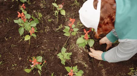 ogrodnik : Senior woman planting flowers. Overhead view of elderly woman in cap planting beautiful red flowers in soil at garden during daytime. Gardening concept