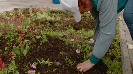 bahçıvan : Senior woman planting flowers. Side view of elderly woman in cap planting beautiful red flowers in soil at garden during daytime. Gardening concept