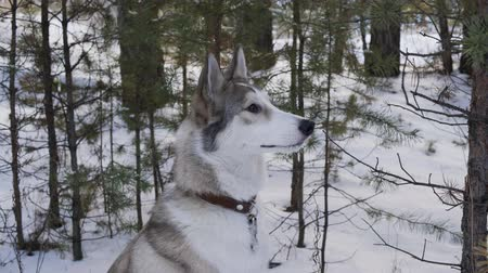 домашние животные : Adorable grey dog sitting on snow in winter forest. Beautiful grey and white furry dog sitting on snow between trees in forest at wintertime