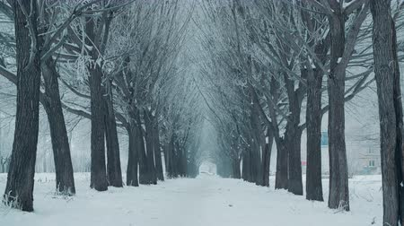 noel ağacı : Beautiful tree alley and white snowfall in winter day. Winter landscape tree alley while snowfall in frosty city Stok Video