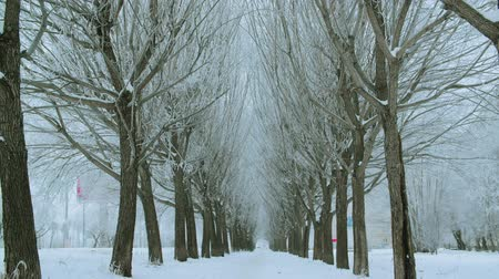 maravilhoso : Beautiful snow-covered trees on alley at wintertime, zoom out. Amazing natural view of bare trees covered with snow in winter park during snowfall
