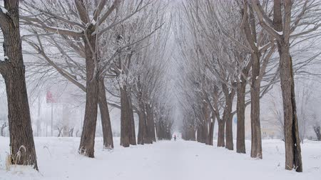 maravilhoso : Beautiful snow-covered trees on winter alley. Amazing natural view of bare trees and snowy alley during snowfall at wintertime