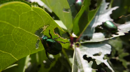 wrecker : Invasion of bronze beetles. Leaves damaged by wreckers. Insects eat the green fence. Stock Footage