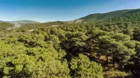 pinho : Bird-eye view at green hills with white plume of smoke rising up between pine trees in forest. Aerial, 4k.