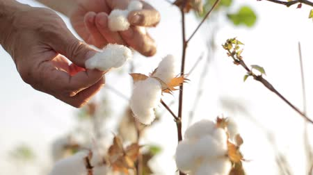bavlna : the farmer touches the hands checks the ripe cotton bolls in field, close-up