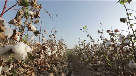 bavlna : Dolly shot of ripe cotton top grade before harvesting