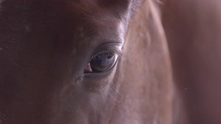 extreme closeup of the eyes of a thoroughbred racehorse in a stable