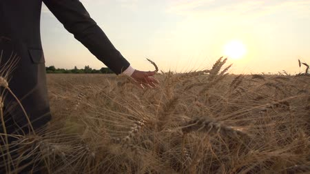 businessman mans hand is touching both hands to the ears of ripe wheat in a field, a farmer inspects a crop at sunset ,slow motion