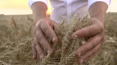 closeup of man is touching both hands to the ears of ripe wheat in a field, a farmer inspects a crop at sunset ,slow motion