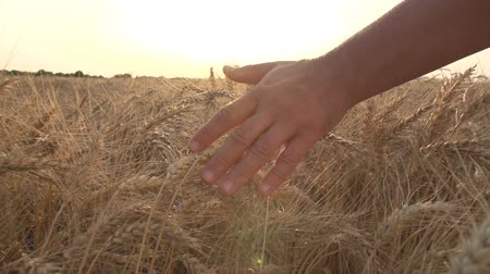 mans hand is touching both hands to the ears of ripe wheat in a field, a farmer inspects a crop at sunset ,slow motion