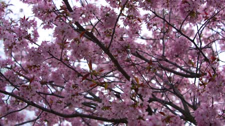 pink background : flowering branch of Sakura