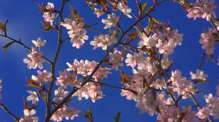 oriental cherry tree : beautiful blossoming branch of cherry blossoms on the background of blue sky