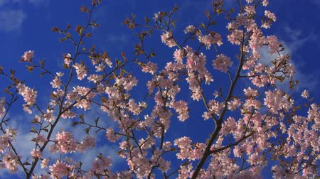 beautiful blossoming branch of cherry blossoms on the background of blue sky