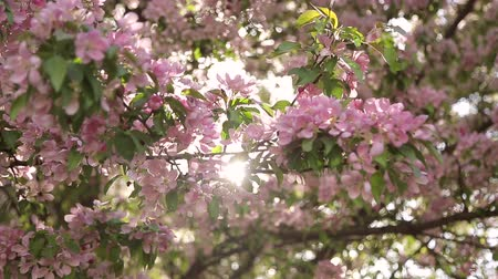 oriental cherry tree : flowering branch of Sakura,close up,the glow of the sun behind Stock Footage