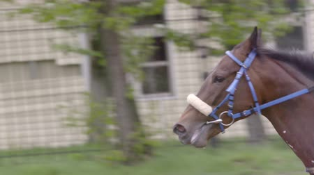 derby : Moscow,Russia, Central Moscow Hippodrome,MAY 2015, running Horse Slow Motion,gallop to the finish line,close up