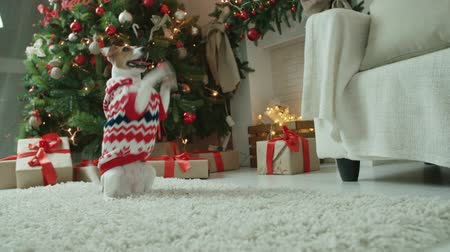animal themes : dog jack russel terrier posing positively in a New Years theme in the studio Stock Footage