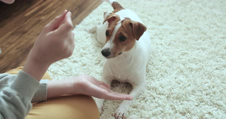 av köpeği : The teenager is in her room playing with a pet Jack Russell Terrier dog,close up