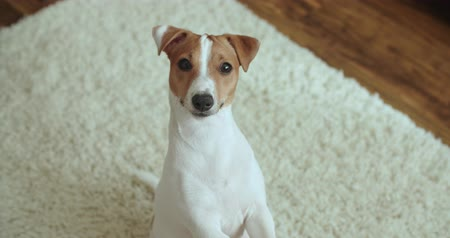 çevik : dog Jack Russell Terrier funny begging for a treat Stok Video
