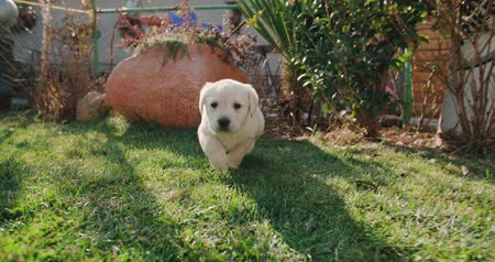 kittens playing : puppy labrador retriever in the farm yard for a walk on a Sunny day,dog slow motion running
