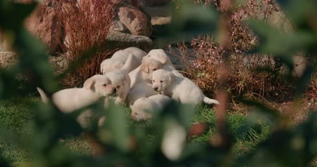 contentamento : adult mom dog labrador retriever with a lot of puppies in the farm yard for a walk on a Sunny day