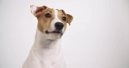 removable : 4K white background dog Jack Russell sitting, portrait
