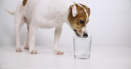 хот дог : Jack Russell Terrier drinking water from a glass, white background slow motion