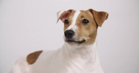 animais domésticos : 4K white background dog Jack Russell sitting, portrait