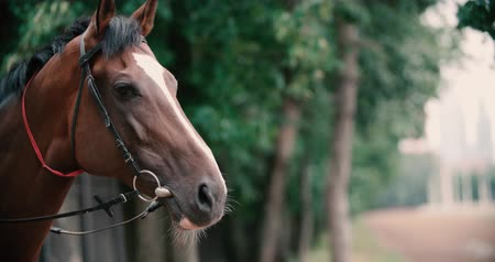 posou : thoroughbred race horse brown close-up face ,slow motion Vídeos