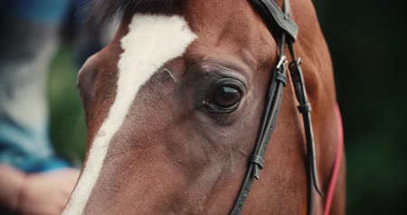 díszgomb : thoroughbred race horse brown extreme close-up face before a race, serious look, slow motion