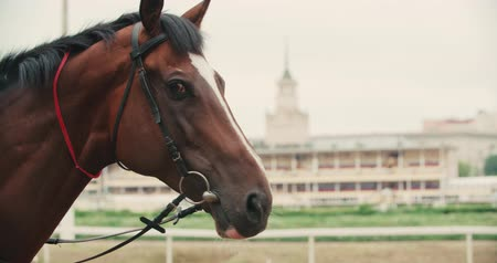 extreme close up : thoroughbred race horse brown close-up face in the background of a running track, slow motion Stock Footage