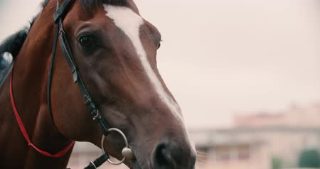 galope : thoroughbred race horse brown extreme close-up face before a race, serious look, slow motion