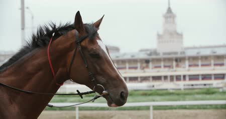 posou : thoroughbred race horse brown close-up face in the background of a running track, slow motion Vídeos