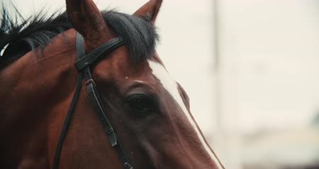 posou : thoroughbred race horse brown extreme close-up face before a race, serious look, slow motion