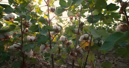 pulling up : Dolly shot 4K, ripe, top quality cotton bolls on the green bushes