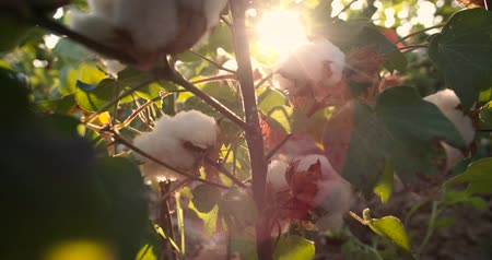de ativos : Dolly shot 4K, ripe, high-quality cotton in green bushes ready to harvest, the glare of the sun