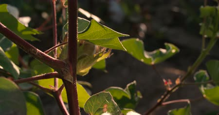 breezy : 4K, close-up,ripe the highest quality cotton in the green bushes