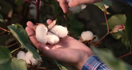 шелуха : 4K close-up hands collect the highest quality ripe cotton bolls on the green bushes Стоковые видеозаписи