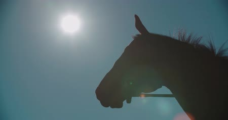 nobreza : silhouette of a thoroughbred racing stallion horse close-up in slow motion Vídeos