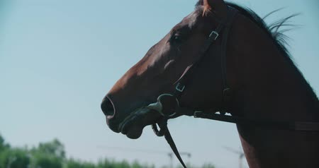 gabela : thoroughbred racing stallion horse close-up in slow motion