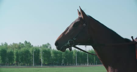 draver : volbloed race hengst paard close-up in slow motion