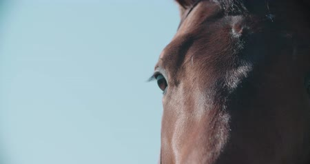 horse racing : thoroughbred racing stallion horse close-up in slow motion