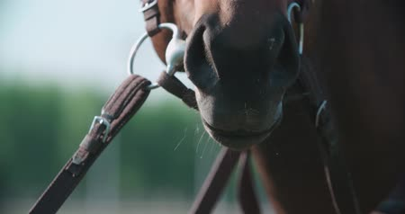 nobreza : the muzzle and nostrils of the thoroughbred racing stallion horse close-up in slow motion breathing