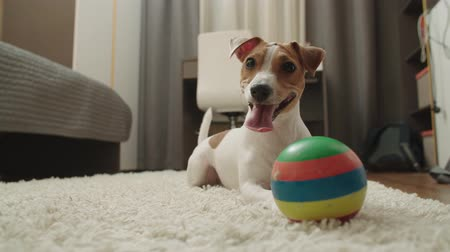 peppy : pet dog Jack Russell Terrier lies smiling sticking his tongue out on the carpet in the childrens room after the ball game