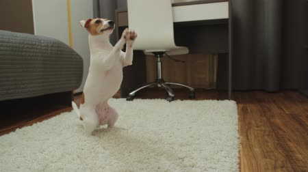peppy : cute puppy Jack Russell Terrier, very fun stands up on his hind legs and smiling, slow motion