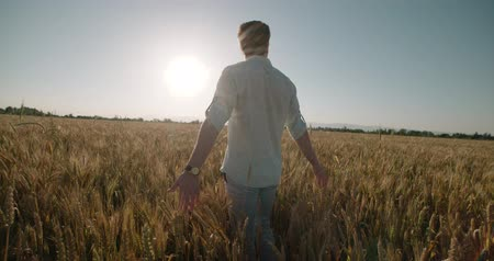 kasza jaglana : Man Walking And Raising Hands in the wheat Field at Sunset Time,slow motion