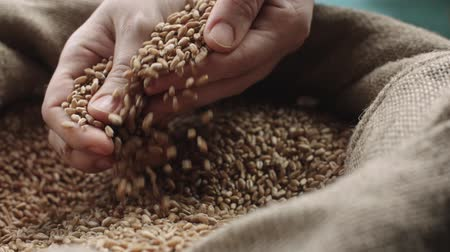 otruby : human hand touching selected grain Golden wheat in jute sack, quality new crop, slow motion,dolly shot Dostupné videozáznamy
