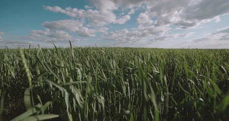 áldás : running in a field of green wheat ,Steadicam shot, slow motion Stock mozgókép