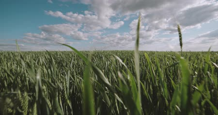 herder : running in a field of green wheat ,Steadicam shot, slow motion Stock Footage