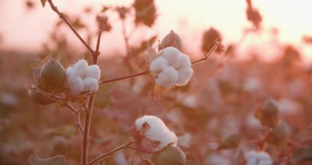 premium : a field of cotton ready to harvest at sunset