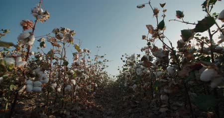 bavlna : Dolly shot of the highest quality cotton in field growing Bush with lots of cotton bolls